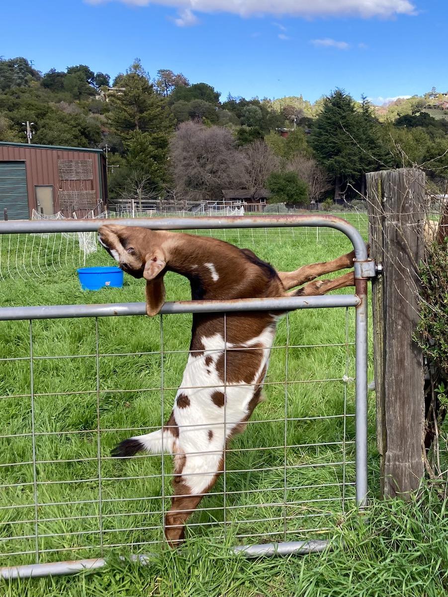 goat backbending