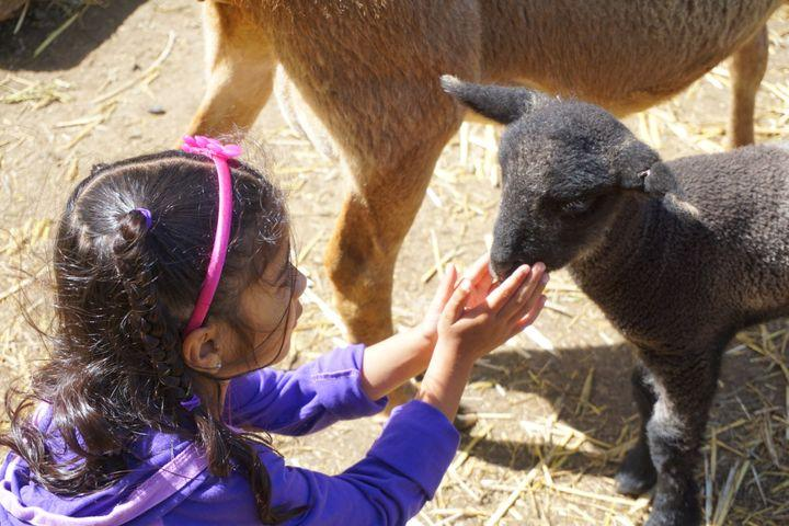 Child Petting Lamb