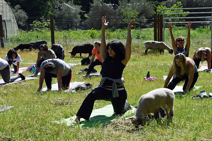 People doing yoga with sheep in the background