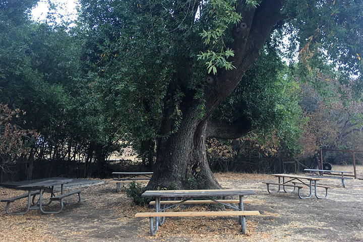 Picnic tables around a large tree