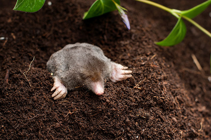 Mole Popping out of Burrow
